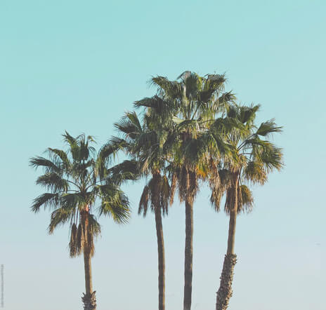 Palm trees from Los Angeles, the home of our video production company,