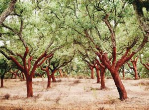 cork-forest-in-portugal-cork-trees