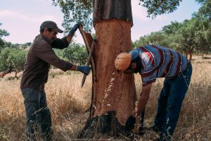 two-men-harvesting-cork-in-the-cork-forest-cork-harvesting-