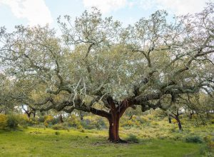 blooming-cork-tree