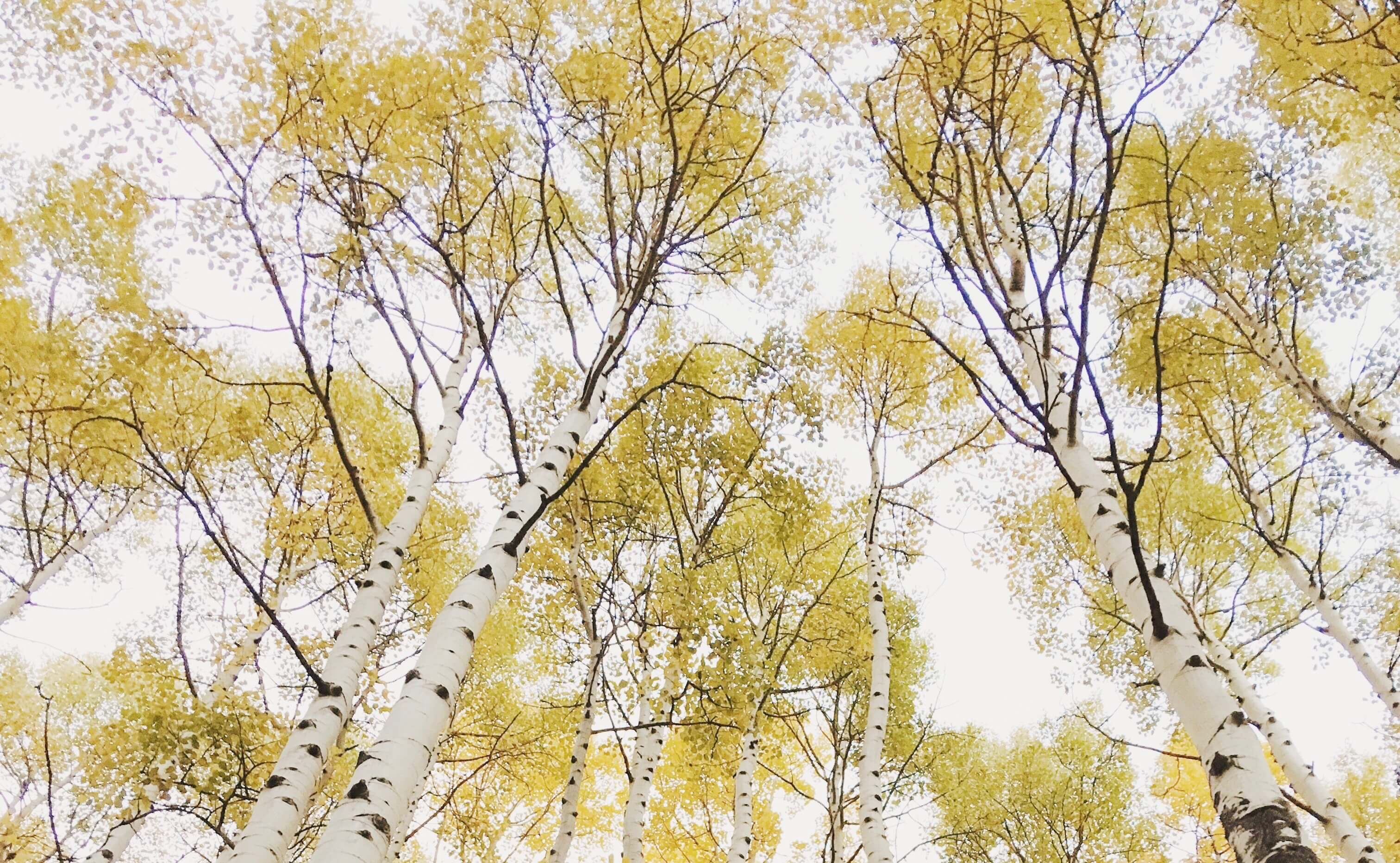 Photo of golden leaves on Aspen trees doctored using tips for editing phone photos