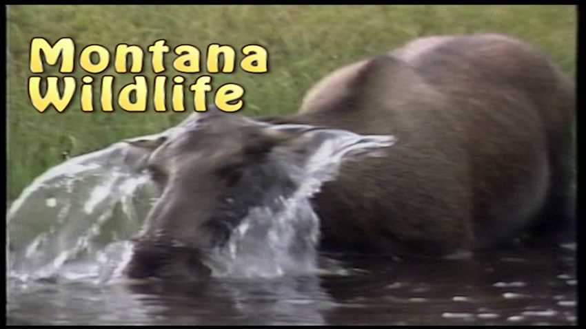 Montana rarely seen Wildlife