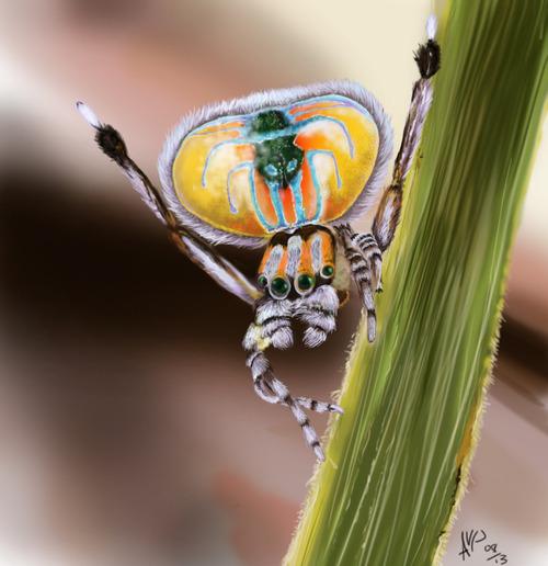 Maratus volans, Peacock Spider