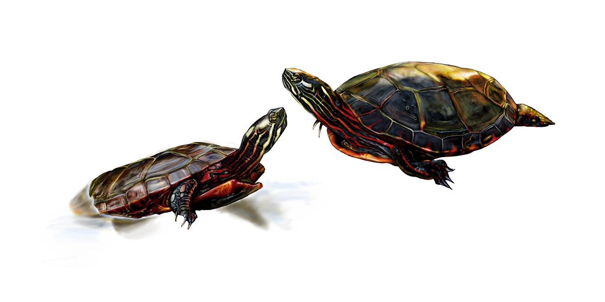 Painted Turtles at Phinizy Swamp