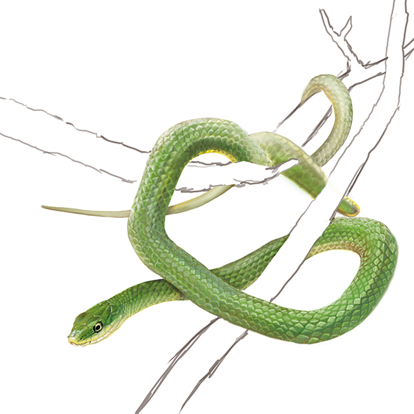 Rough Green Snake in Tree Branches at Phinizy Swamp