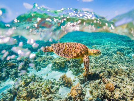 A Green Sea Turtle Swimming On A Shallow Reef With A Clear Sky And Bubbles In The Water Great Barrier Reef Asia Vacation Group