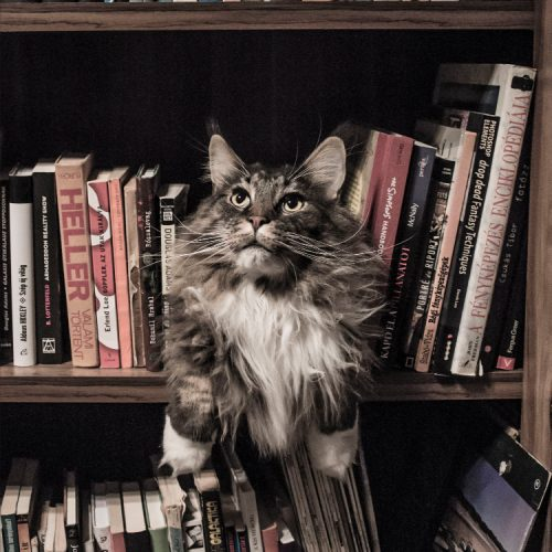cat on shelf looking at books