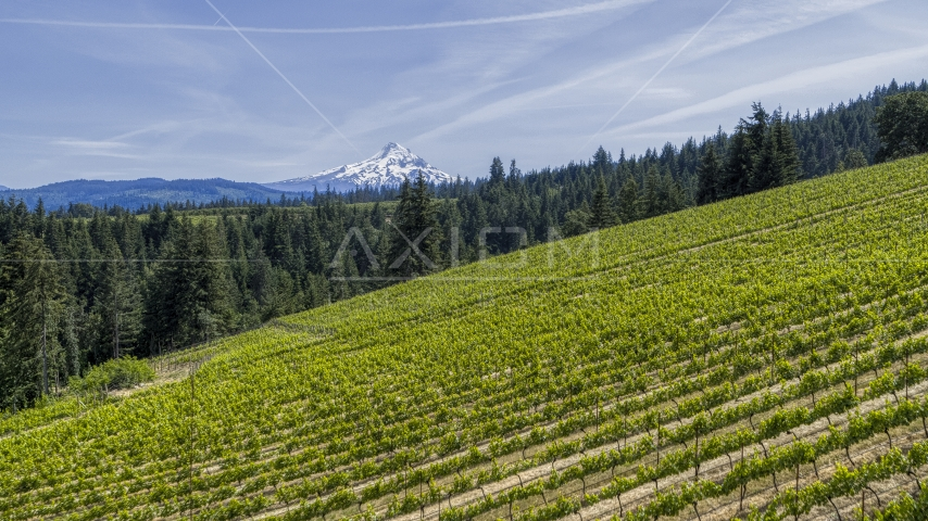 Mount Hood in the distance, seen from hillside Phelps Creek Vineyards in Hood River, Oregon Aerial Stock Photo DXP001_009_0004 | Axiom Images