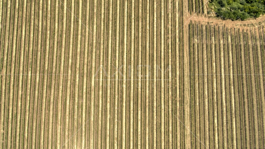 A bird's eye view of long rows of grapevines in Hood River, Oregon Aerial Stock Photos | DXP001_017_0010