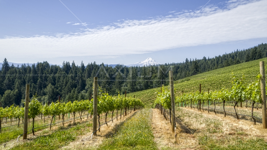 Fields of grapevines with a view of Mt Hood, Hood River, Oregon Aerial Stock Photos | DXP001_017_0012