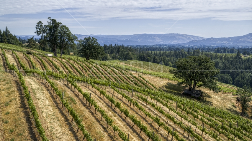 Hills loaded with rows of grapevines in Hood River, Oregon Aerial Stock Photos | DXP001_017_0017