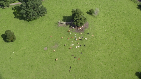 AX109_088.0000067F - Aerial stock photo of Cattle on a farm in Doune, Scotland