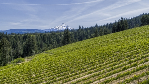DXP001_009_0004 - Aerial stock photo of Mount Hood in the distance, seen from hillside Phelps Creek Vineyards in Hood River, Oregon