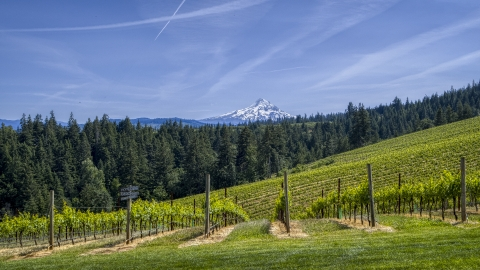 DXP001_009_0007 - Aerial stock photo of Rows of grapevines with a view of Mount Hood, Hood River, Oregon