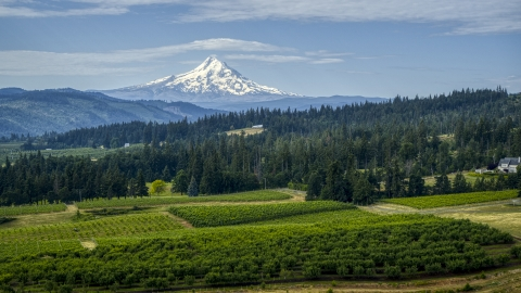 DXP001_015_0017 - Aerial stock photo of Orchard trees, evergreens, and snowy Mt Hood in the distance in Hood River, Oregon