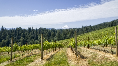 DXP001_017_0012 - Aerial stock photo of Fields of grapevines with a view of Mt Hood, Hood River, Oregon