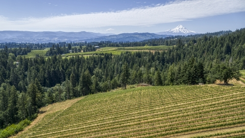 DXP001_017_0021 - Aerial stock photo of Grapevines and evergreen trees at Phelps Creek Vineyards with a view of Mount Hood, Hood River, Oregon
