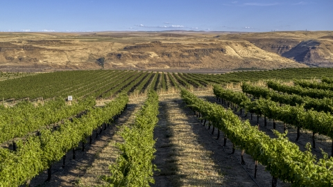 DXP001_019_0013 - Aerial stock photo of Rows of grapevines at the Maryhill Winery vineyard in Goldendale, Washington