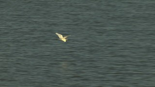 AF0001_000424 - HD stock footage aerial video track a heron flying over the water, zoom to a wider view, Gulf Coast, Alabama, sunset