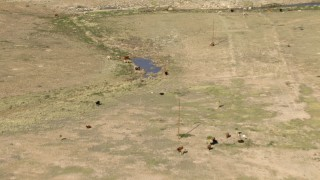 AF0001_000970 - HD stock footage aerial video fly over cattle and tilt to a bird's eye view of cattle around a pond near El Paso, Texas