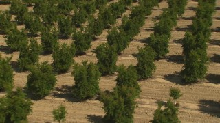 AI06_FRM_023 - 1080 stock footage aerial video tilt up and orbit orchard trees in Central Valley, California