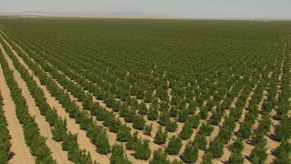 AI06_FRM_071 - 1080 stock footage aerial video flying over orchard, tilt to trees, Central Valley, California