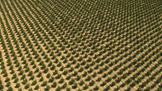 AI06_FRM_095 - 1080 stock footage aerial video of tilting from trees to a view of an orchard, Central Valley, California