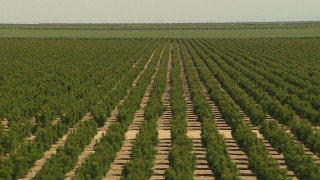 AI06_FRM_120 - 1080 stock footage aerial video rows of trees, ascend to wider view of orchard, Central Valley, California
