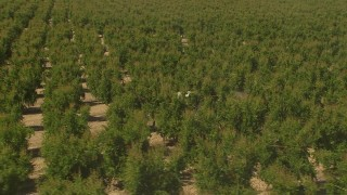 AI06_FRM_128 - 1080 stock footage aerial video tractor moving between tree rows, Central Valley, California