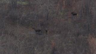 AK0001_0215 - 4K stock footage aerial video three moose, Knik River Valley, Alaska