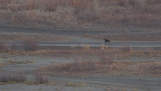 AK0001_0216 - 4K stock footage aerial video tracking a moose in the valley, Knik River Valley, Alaska