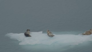 AK0001_0474 - 4K stock footage aerial video orbiting seals lounging on ice in the bay, Blackstone Bay, Alaska