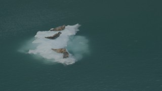 AK0001_0475 - 4K stock footage aerial video orbiting seals on ice chunk, zoom out to reveal glacier, Blackstone Bay, Alaska