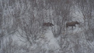 AK0001_0888 - 4K stock footage aerial video moose and calf hiking through the snow covered brush during winter, Alaskan Wilderness