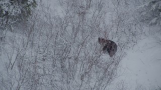 AK0001_0958 - 4K stock footage aerial video tracking a bear running through snow during winter, Alaskan Wilderness