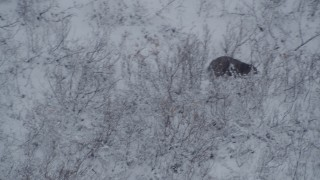 AK0001_0960 - 4K stock footage aerial video tracking a bear sitting in snow, running up a hill, Alaskan Wilderness
