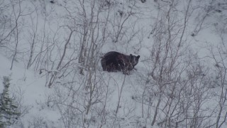 AK0001_0962 - 4K stock footage aerial video tracking bear crouched in snow, during winter, Alaskan Wilderness