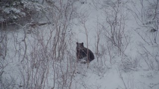AK0001_0963 - 4K stock footage aerial video track a bear running in snow behind tree, during winter, Alaskan Wilderness