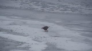 AK0001_1242 - 4K stock footage aerial video a bald eagle feeding on a fish, Knik River Valley, Alaska