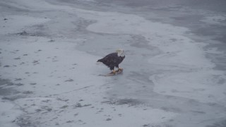 AK0001_1243 - 4K stock footage aerial video a bald eagle feeding on a fish, Knik River Valley, Alaska
