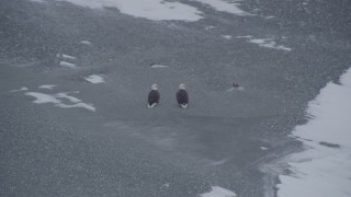 AK0001_1245 - 4K stock footage aerial video two bald eagles by a river, fly right over snow to a fish, Knik River Valley, Alaska