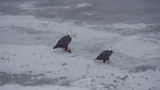 AK0001_1246 - 4K stock footage aerial video orbiting two bald eagles and a fish on the snow, Knik River Valley, Alaska