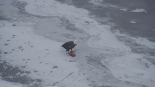 AK0001_1248 - 4K stock footage aerial video a bald eagle perched on a fish on the snow, Knik River Valley, Alaska