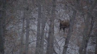 AK0001_1281 - 4K stock footage aerial video a moose in the snow covered brush in the Alaskan Wilderness