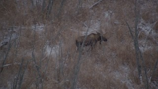 AK0001_1282 - 4K stock footage aerial video moose trotting through snow covered ground and trees in the Alaskan Wilderness