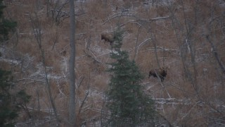 AK0001_1286 - 4K stock footage aerial video two moose in the snow covered brush in the Alaskan Wilderness