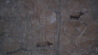 AK0001_1287 - 4K stock footage aerial video two moose standing and walking in snow covered brush in the Alaskan Wilderness