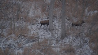 AK0001_1290 - 4K stock footage aerial video two moose in the snow covered brush in the Alaskan Wilderness