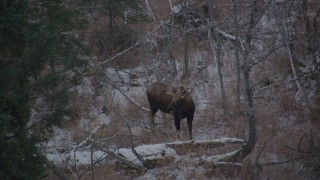 AK0001_1293 - 4K stock footage aerial video a moose in the snow covered brush in the Alaskan Wilderness