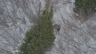 AK0001_1510 - 4K stock footage aerial video orbiting a moose standing in snow, behind trees, Chugach Mountains, Alaska